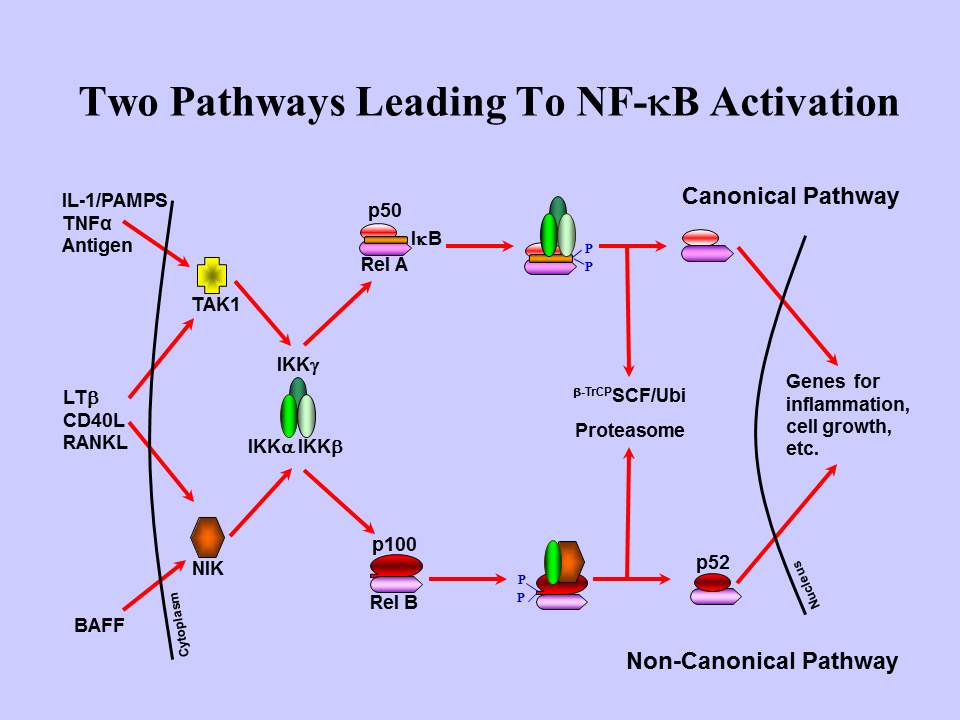 mechanisms of activation of nf b signaling pathway Solutions optimized for nfkb signaling studies include pcr array, mirna,  nf-kappab family pathway nf-kappab activation by ebv nf-kappab activation.